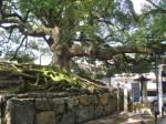 Very old camphor tree,  Kyoto