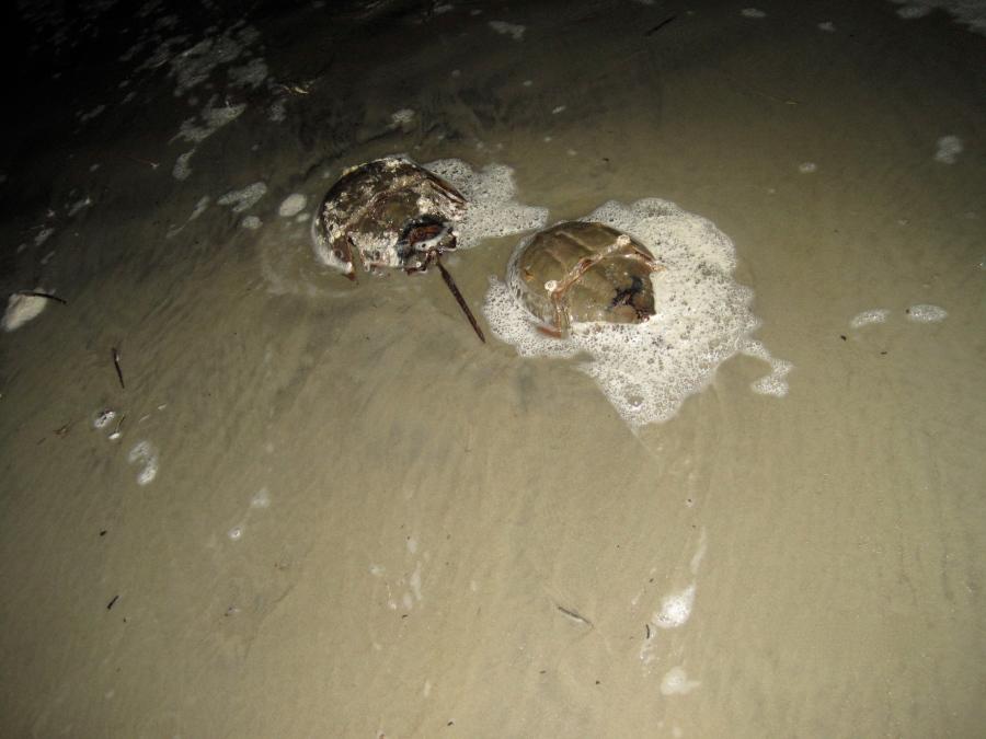 9. Horseshoe Crabs